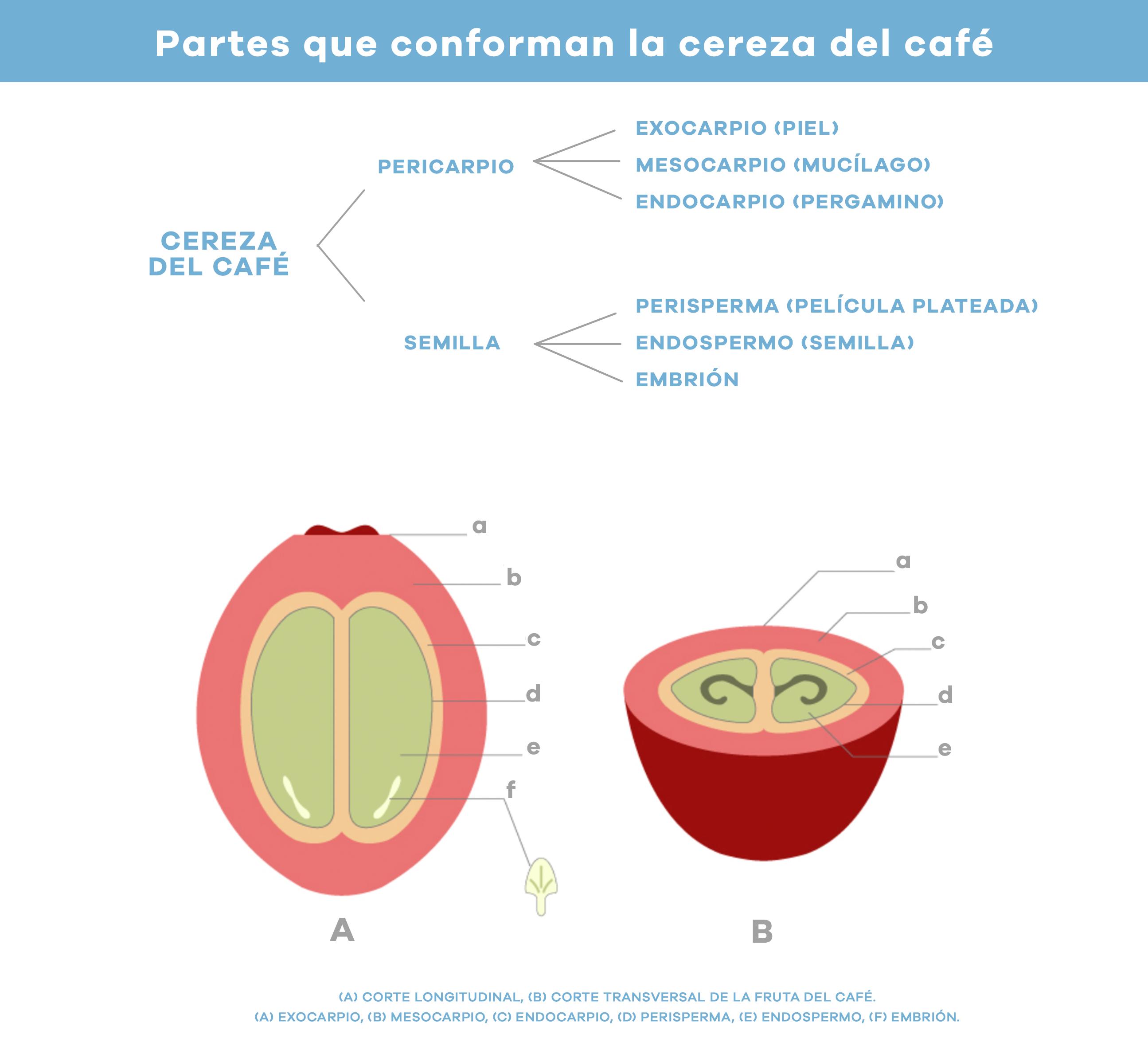 anatomia-granos